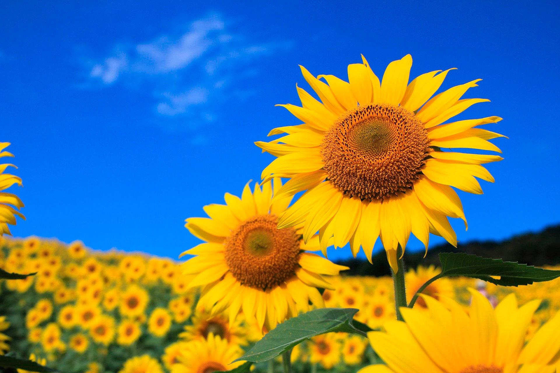sunflowers-ukraine